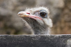 Ostrich. Wild ostrich on green meadow Royalty Free Stock Image
