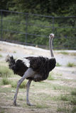 Ostrich. Wild ostrich stand on plains of zoo Stock Image