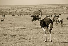 Ostrich and wildebeest Royalty Free Stock Photos