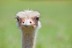 Ostrich wildlife. Portrait of a funny ostrich with a green background Stock Photos
