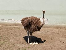 Ostrich Will Become Mom In The Zoo. Ostrich stands above the eggs in the zoo Royalty Free Stock Photos