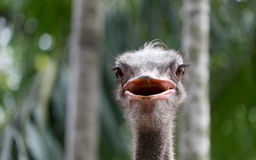 Ostrich. Will have a very long neck and run fast Royalty Free Stock Photos