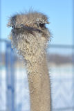 Ostrich in winter Royalty Free Stock Photos