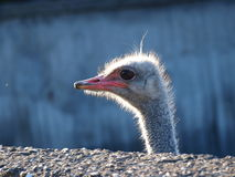 Ostrich, Wroclaw, Poland Stock Images