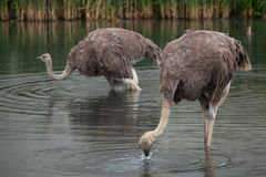 Ostrich (Struthio camelus). Stock Images
