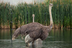 Ostrich (Struthio camelus). Royalty Free Stock Photos