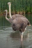 Ostrich (Struthio camelus). Royalty Free Stock Photography