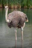 Ostrich (Struthio camelus). Royalty Free Stock Photo