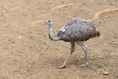 Ostrich. Young female of African ostrich (Struthio camelus) in the Casela Park, Mauritius stock photography