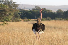 Ostrich - Struthio camelus camelus - in field with evening sun, Tanzania Royalty Free Stock Photography