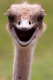 Ostrich in Your Face Royalty Free Stock Photography