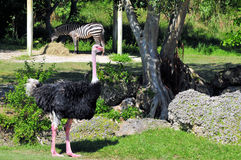 Ostrich & Zebra Stock Photos