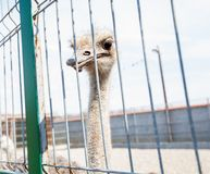 Ostrich in the ZOO Stock Photography