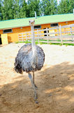 Ostrich in the zoo. Walking ostrich in the zoo Stock Photos