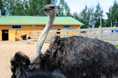 Ostrich in the zoo Royalty Free Stock Photos
