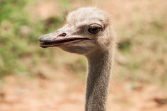 Ostrich in zoo Stock Photo