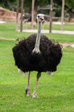 Ostrich in zoo. Ostrich in Khao Kheow Open Zoo Royalty Free Stock Images