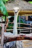 Ostrich in the Zoo. In Thailand Royalty Free Stock Image