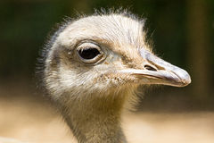 Ostrich. At the zoo Stock Image