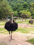 Ostrich. In the zoo Royalty Free Stock Image