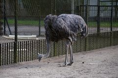 The ostrich. In the zoo Stock Photos