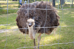 Ostrich at a Zoo Royalty Free Stock Images