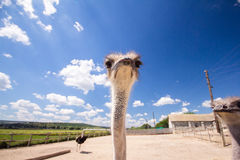 Ostrich zoo corral, looking up. Royalty Free Stock Photography