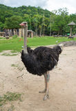 Ostrich in the zoo. Stock Photo