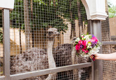 Ostrich in  zoo Royalty Free Stock Images