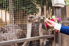 Ostrich in  zoo. Ostrich in zoo.  people feed the ostrich Royalty Free Stock Image