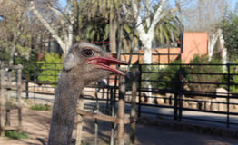 Ostrich in zoo Stock Photos