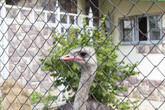 Ostrich in the zoo. Photographed the body of the ostrich - head. The bird lives in a zoo Royalty Free Stock Image
