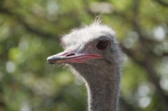 Ostrich. Stock Images
