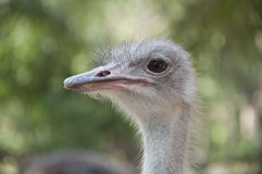 Ostrich. Royalty Free Stock Photography