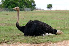 Ostrich. Zoung ostrich sitting on the grass, photo taken in South Africa Royalty Free Stock Images