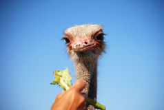 Ostrich1 royalty free stock photography