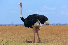Ostriche au parc national de Mara de masai photo stock