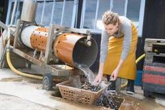 Ostriche dei crostacei che puliscono elaborazione Immagine Stock Libera da Diritti