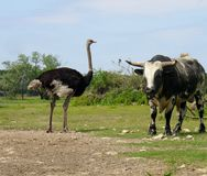 Ostriche e toro Fotografia Stock Libera da Diritti