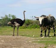 Ostriche en stier Royalty-vrije Stock Fotografie