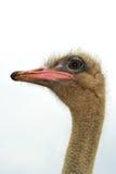 Ostrichen för ostrichen head Arkivbilder