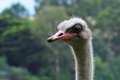 Ostrichen för ostrichen head Fotografering för Bildbyråer