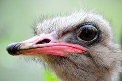 Ostrichen för ostrichen head Arkivfoto