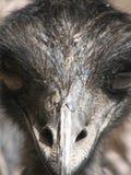 Ostrichen för ostrichen head Royaltyfria Foton