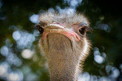 Ostrichen för ostrichen head Royaltyfri Foto