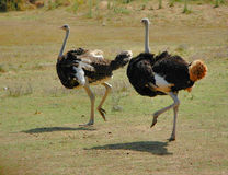Ostriches. Running in the plain Stock Photos