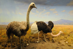 Ostriches. On Display at the American Museum of Natural History in New York City Stock Image