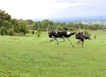 ostriches Royaltyfri Fotografi
