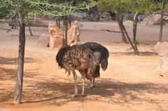 Ostriches. From Africa in a zoo park Stock Images