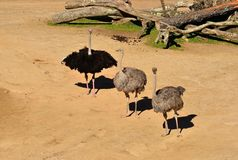 Ostriches Royalty Free Stock Image